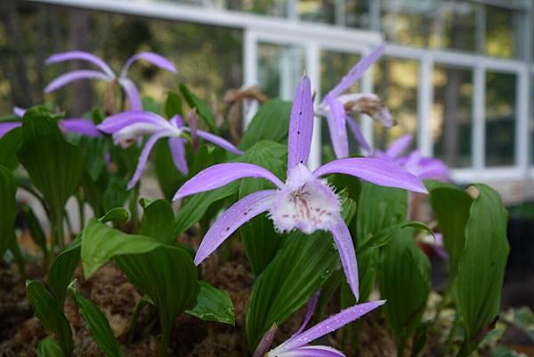 1060410武陵紫藤(104).JPG