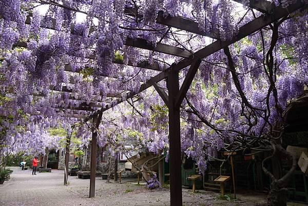 1060410武陵紫藤(113).JPG
