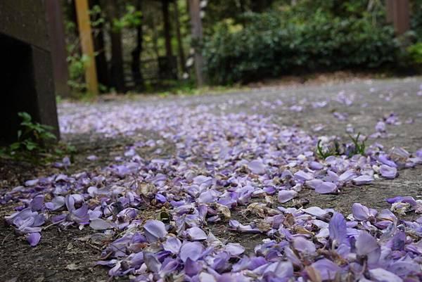 1060410武陵紫藤(120).JPG