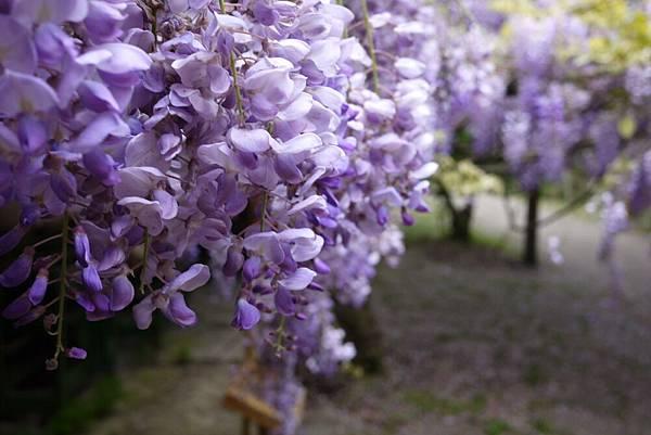 1060410武陵紫藤(136).JPG