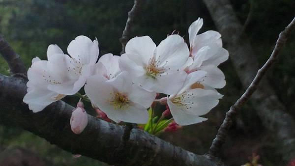 1060410武陵紫藤(18).jpg