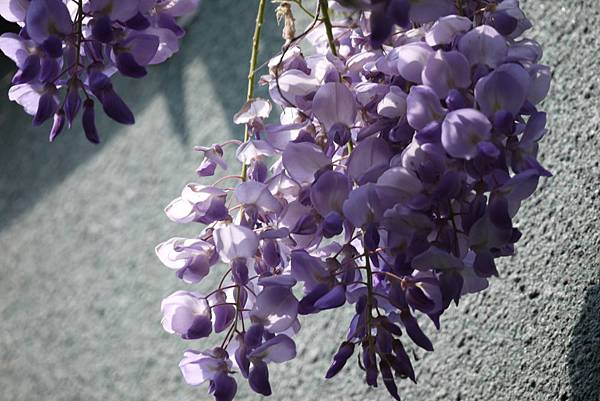 1060410武陵紫藤(55).JPG