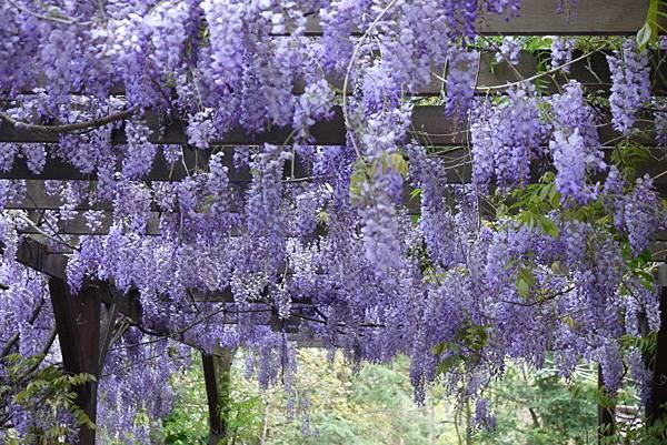 1060410武陵紫藤(73).JPG