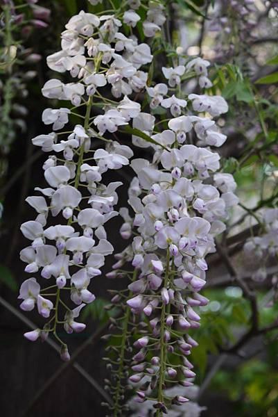 1060410武陵紫藤(76).JPG