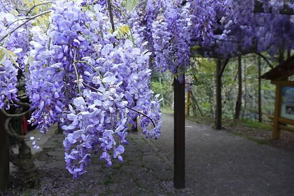 1060410武陵紫藤(98).JPG