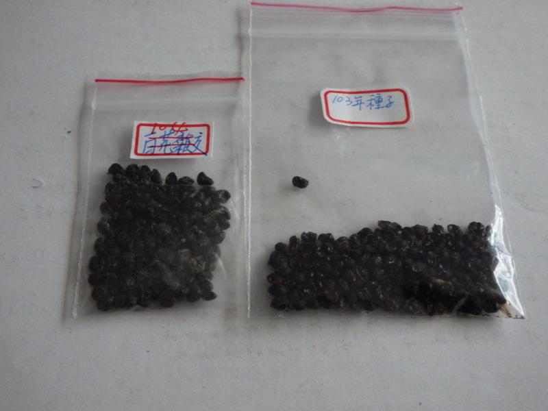 103&103年小蒼蘭種子.JPG