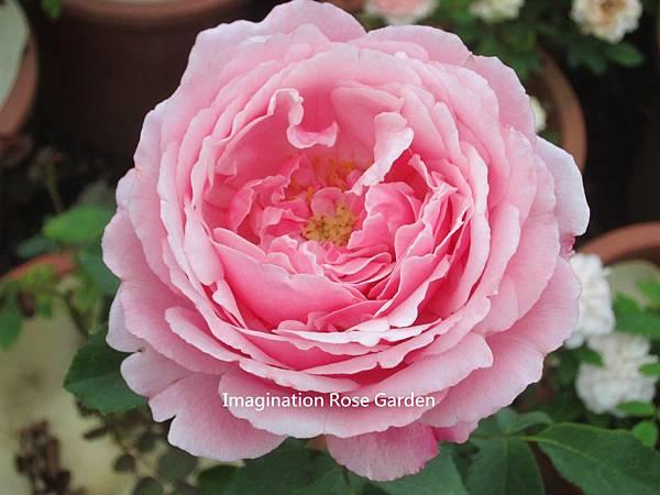 美里的玫瑰色之歌