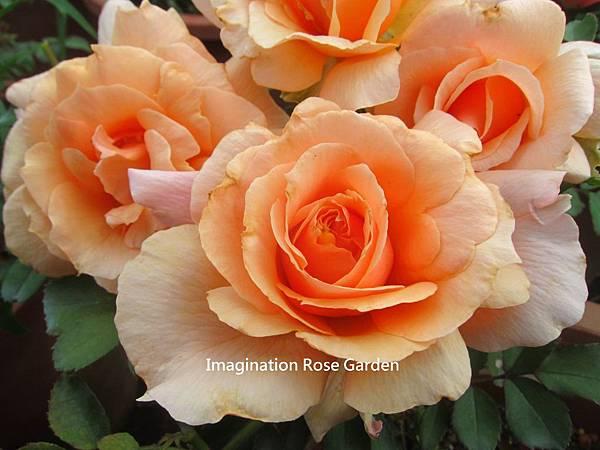 Apricot Candy杏子糖果