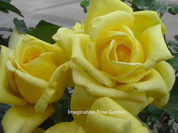 蔓性黃玫瑰