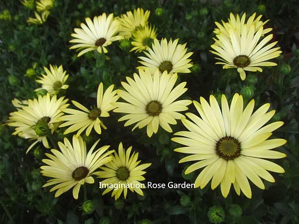 金黃陽光菊