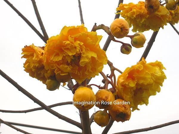 重瓣彎子木(重瓣毛茛樹)