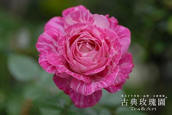 古典玫瑰園
