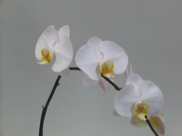 蘭花P1040376.JPG
