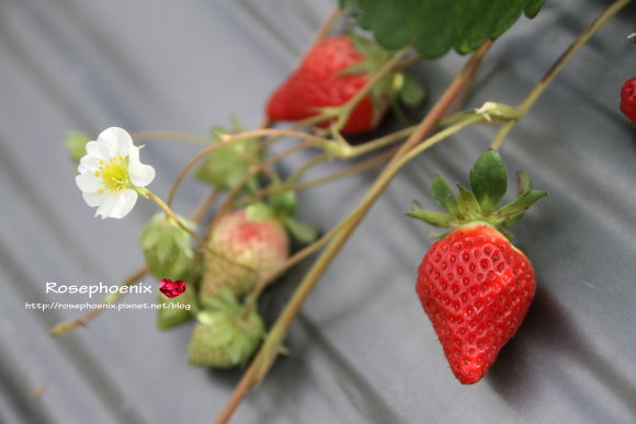 好吃的草莓 010