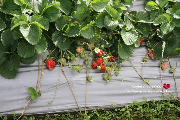 好吃的草莓 008