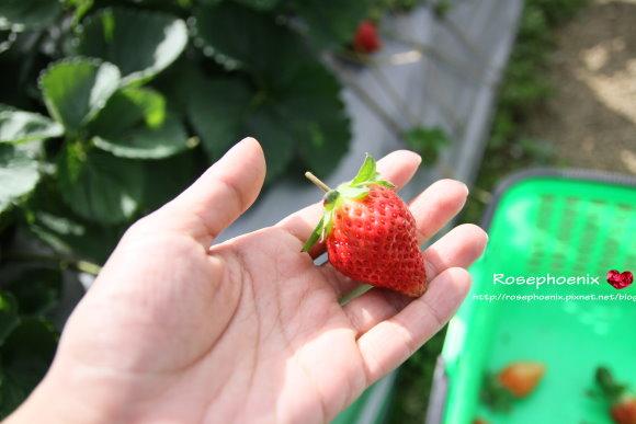 好吃的草莓 012