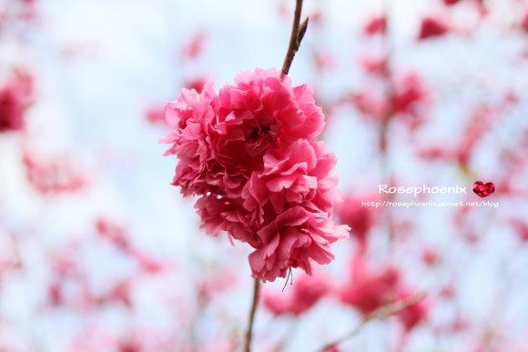 20130214大坑濁水巷賞櫻 (11)