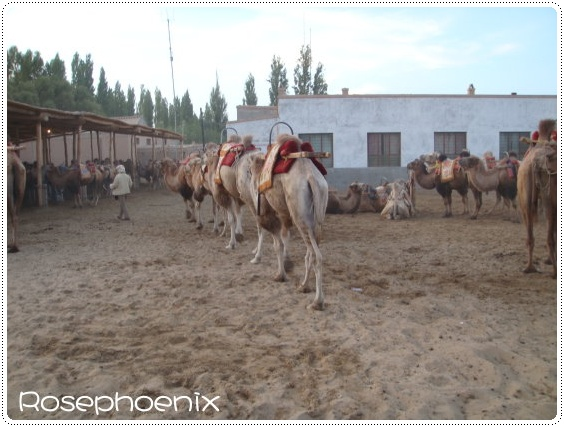 0831-駱駝晚上不乖,要回家囉!.JPG