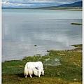 0828-青海湖畔的白犛牛.jpg