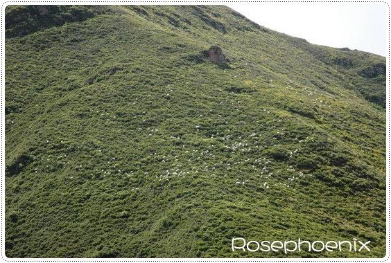 0829- 山牧季移羊群.jpg