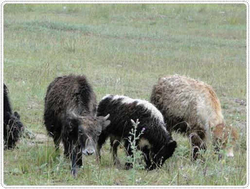 0828-幼年小犛牛.jpg