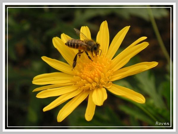無辜表情的蜜蜂.JPG