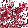 杏花林11.jpg