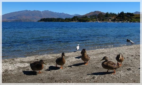 開會的鴨Wanaka