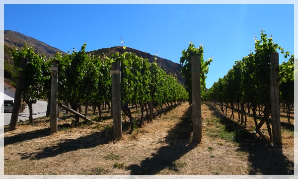 vinery@ Gibbston Valley