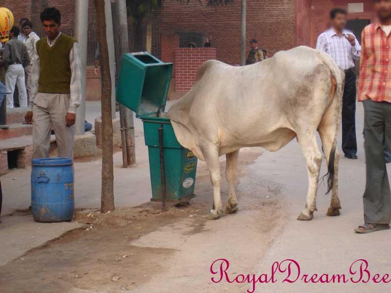 royaldreambee india2