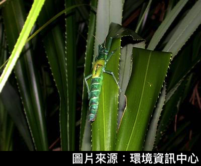 綠島夜觀7-津田氏大頭竹節蟲.png