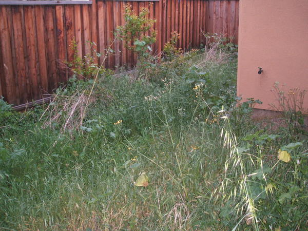 back yard-weeds everywhere