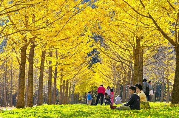 韓國紅葉2017, 韓國紅葉2017預測, 韓國楓葉時間, 韓國楓葉時間2017, 韓國銀杏時間, 首爾銀杏, 洪川銀杏林