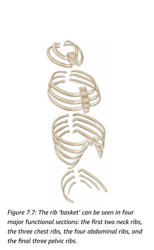 Spine分段.jpg