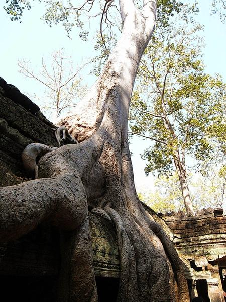 粗壯的根莖,繞過樑柱、探入石縫、盤繞屋簷、深穩緊密地縛住塔普倫寺