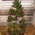 發現假裝自己是聖誕樹的植物