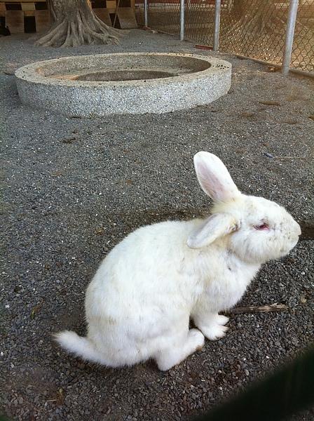 哈囉小白兔