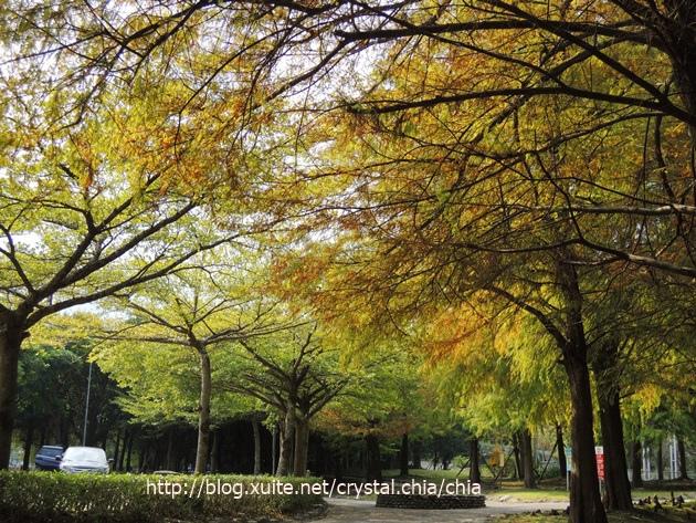 羅東運動公園落羽松 (1)