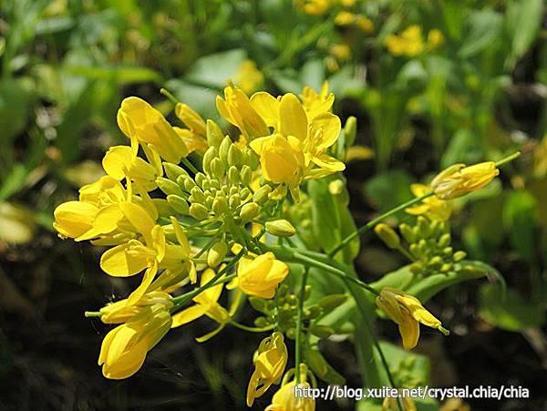 池上油菜花 (5)
