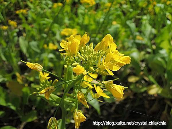 池上油菜花 (11)