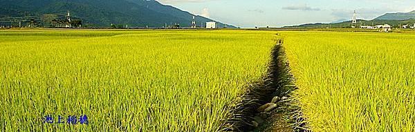 池上稻穗-1