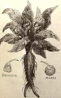 Mandrake02.jpg