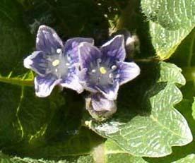 曼德拉草 - 花