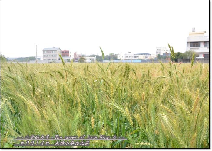 小麥1.jpg