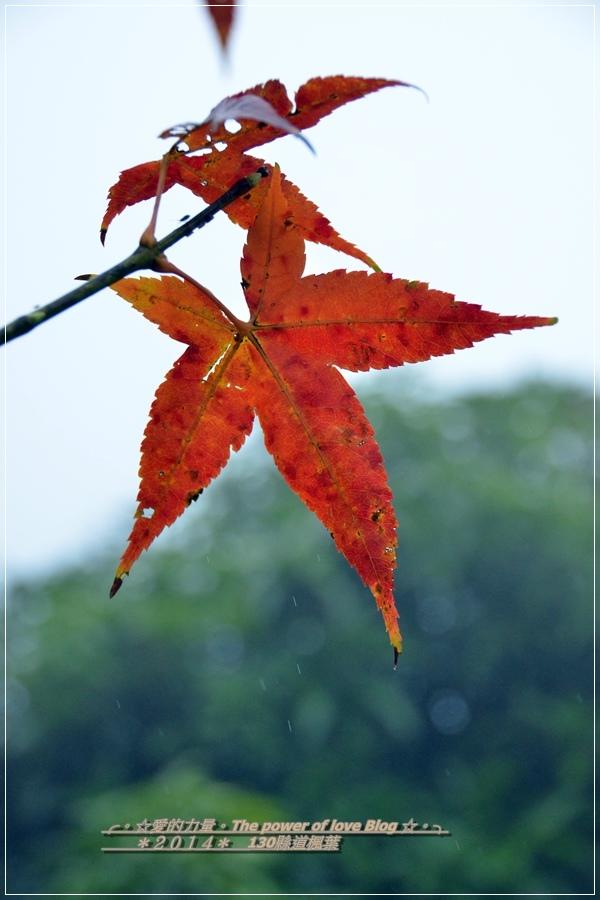 楓葉1.jpg