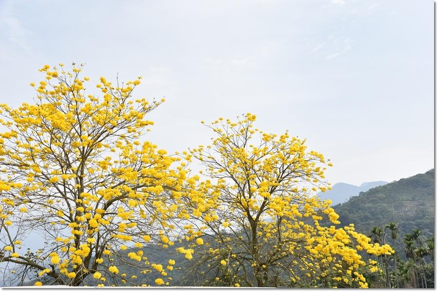 黃花1.jpg