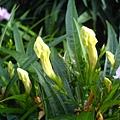不知名黃色花