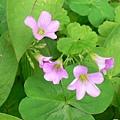 粉紅小野花