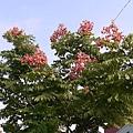 代表天母的街樹 欒樹