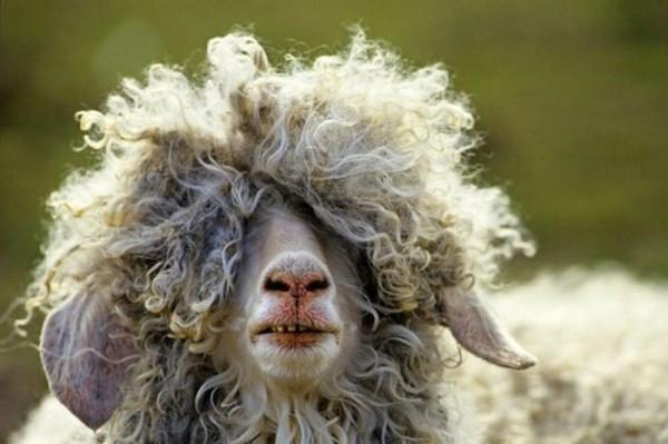 超酷的犀利羊.jpg